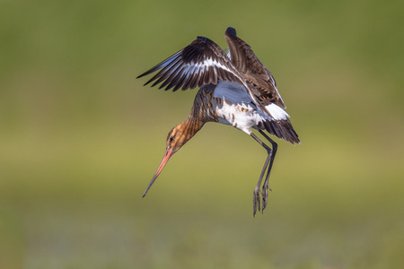 Black-tailed Godwit (Limosa limosa) wader bird in preparation for landing while flapping wings with feathers spread. Long legs are reaching for the ground