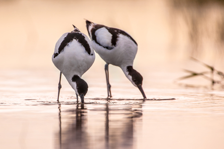 Couple of foraging pied avocet (Recurvirostra avosetta) wading in water in early morning light and looking for food during sunrise Stock Photo