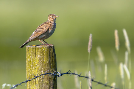 Eurasian skylark (Alauda arvensis) perched on a pole in agricultural landscape. This small passerine bird species is a wide-spread species found across Europe and Asia 免版税图像