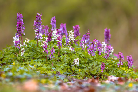 corydalis: Hollow-root (Corydalis cava) blooming on the forest floor in a park during spring