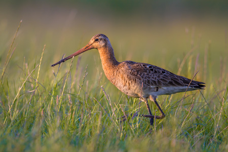 occurs: Black-tailed Godwit (Limosa limosa) wader bird walking in grassland. This breeding habitat occurs in the Dutch coastal areas. About half of the world population breeds in the Netherlands.