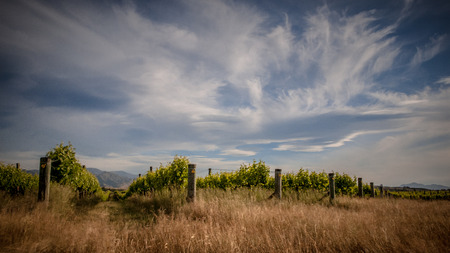 lenticular cloud: Organic Vineyard under dramatic sky in Marlborough area New Zealand