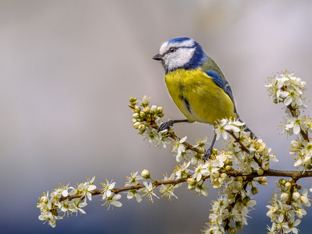 Blue tit (Parus caeruleus) perched on branch of Hawthorn (Crataegus monogyna) with white blossom Banque d'images