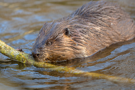 adapted: Eurasian beaver (Castor fiber) is one of the largest rodents in the world. It is well adapted to fulfil its role as a vital engineer of wetland habitats