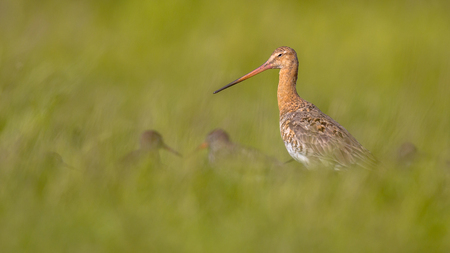 occurs: Black-tailed Godwit (Limosa limosa) with smaller Redshank wader birds in long grass. This type of breeding habitat occurs in the Dutch coastal areas.