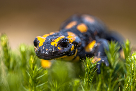 Fire salamanders (Salamandre salamandre) live in central European  forests and are more common in hilly areas. Stock Photo