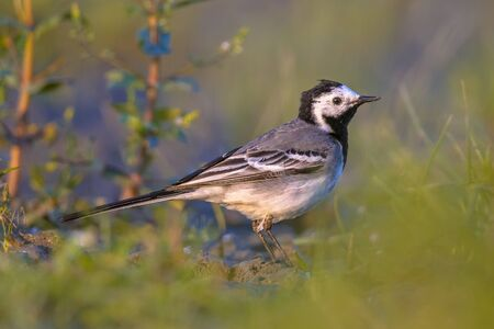 motacilla: white wagtail (Motacilla alba) in grassland of wetland nature reserve in the Netherlands