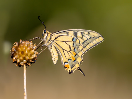Swallowtail (Papilio machaon) resting on Allium Plant in the Morning Light. The Swallowtail is Europes largest native butterfly, and also one of our rarest.