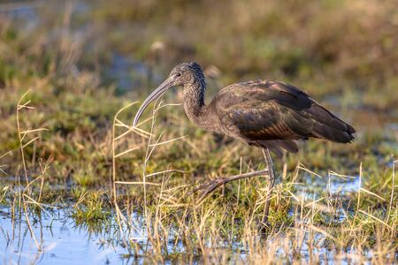 Foraging Glossy Ibis in grassy swamp nature reserve. This is the most widespread ibis species, breeding in scattered sites in warm regions of Europe, Asia, Africa, Australia, and the Atlantic and Caribbean regions of the Americas.