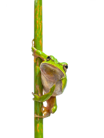 Green European Tree Frog (Hyla arborea) Looking in the camera while perched in a vertical stick, isolated on white background