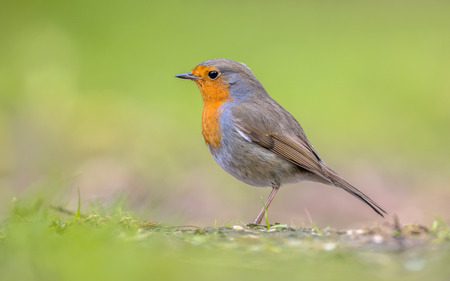 rubecula: Profile of Red Robin (Erithacus rubecula) foraging in grass of a backyard in urban environment with bright green background Stock Photo