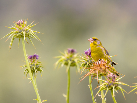 birds in tree: Greenfinch (Chloris carduelis) feeeding on milk thistle (Silybum marianum)