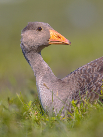 Greylag goose (Anser anser) bird lying in grass with apologizing face. This species has a Palearctic distribution and breeds in Europe and North Asia.