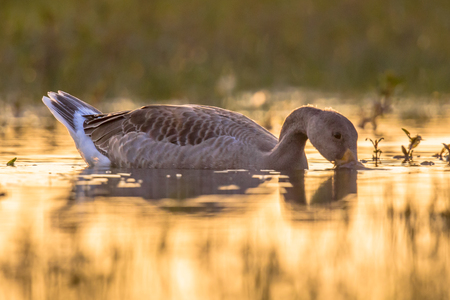 northern light: Greylag goose (Anser anser) in water of wetland under orange morning light. This bird species breeds in Northern Europe and north Asia and was introduced to Australia and New Zealand. Stock Photo