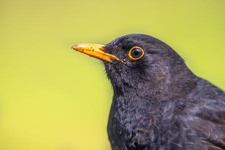merula: Portrait of male Blackbird (Turdus Merula) on light brown background