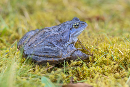 Blue Moor frog (Rana arvalis) with distictive lining on back. Males can develop bright blue coloration for a few days during the breeding season in march or april. Stock Photo
