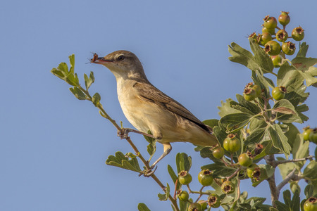 Olive-tree warbler (Hippolais olivetorum) with insect prey on migration on Cyprus island Stock Photo
