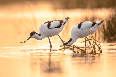 Pair of foraging pied avocet (Recurvirostra avosetta) wading in water in orange morning light and looking for food during sunrise Stock Photo