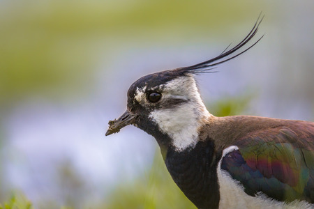 water bird: Sideview portrait of Northern lapwing (Vanellus vanellus) in grassland habitat where it breeds. with bright colored background in blue and green. Lots of feather details are visible on the bird wing Stock Photo