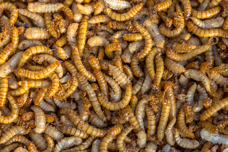 mealworm: Living mealworm larvae background suitable as food