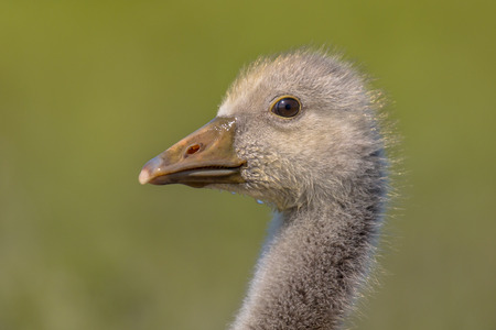 occurs: Cute Head of Greylag goose (Anser anser) Chick on natural green background. This bird species occurs in Europe and North Asia and was introduced to Australia.