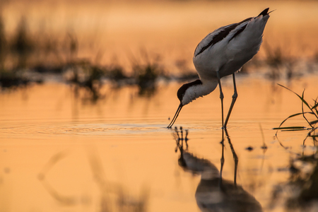 birdwatcher: pied avocet (Recurvirostra avosetta) wading in water in early orange light and looking for food during sunrise