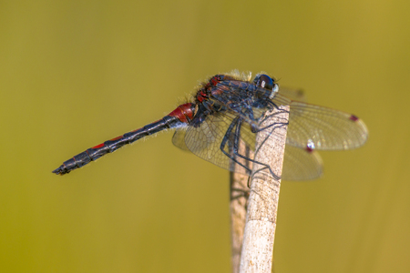 Ruby whiteface (Leucorrhinia rubicunda) dragonfly perched on reed with green background.