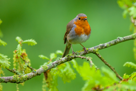 rubecula: Red robin (Erithacus rubecula) perched on a fresh flowering oak branch as a concept for spring.