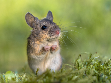 Erect sitting Wood mouse (Apodemus sylvaticus) in begging position in green moss natural environment and looking in the camera Stock Photo