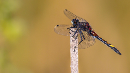 occurs: Yellow-spotted whiteface or Large white-faced darter  (Leucorrhinia pectoralis) dragonfly inhabits marshy borders and prefers less acidic waters than its close relative darters. It occurs from Europe to Siberia. Stock Photo