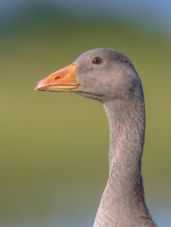 Friendly Head of Greylag goose (Anser anser). This bird species breeds in Northern Europe and north Asia and was introduced to Australia and New Zealand. Stock Photo
