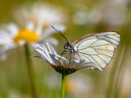 pieridae: Black-veined White (Aporia crataegi) resting on Oxeye daisy (Leucanthemum vulgare) in the morning sun
