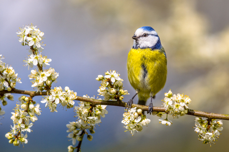 Blue tit (Parus caeruleus) perched on Hawthorn (Crataegus monogyna) twig with white blossom