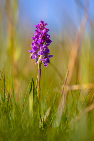 Western Marsh orchid (Dactylorhiza majalis) in a protected nature reserve in Drenthe, the Netherlands 版權商用圖片