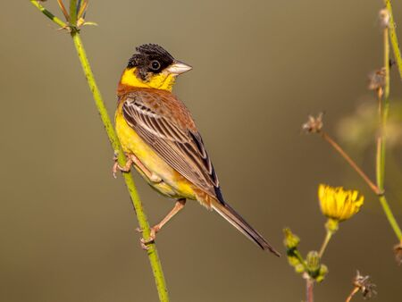 Black headed Bunting (Emberiza melanocephala) perched in herb plant on Lesbos island, Greece