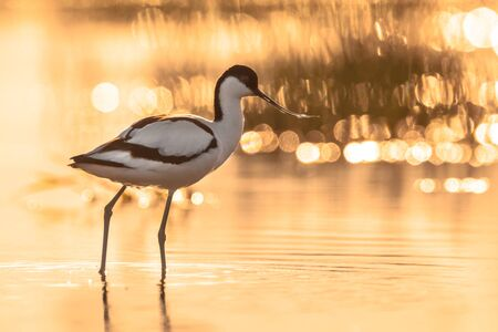 pied avocet (Recurvirostra avosetta) wading in water of salt marsh in early orange light and looking for food during sunrise Stock Photo