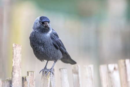 Western Jackdaw (Corvus monedula) on chestnut fence. Generally wary of people in the forest or countryside, western jackdaws are much tamer in urban areas. Stock Photo