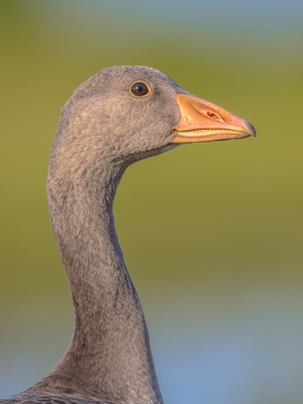 Friendly Head of Greylag goose (Anser anser) portrait. This bird species breeds in Northern Europe and north Asia and was introduced to Australia and New Zealand.