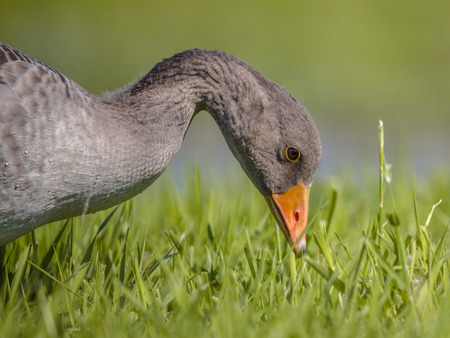 Head of Greylag goose (Anser anser) bird eating grass in green pasture. This species has increased fast in numbers and can be a serious plaque in some agricultural parts of the Netherlands