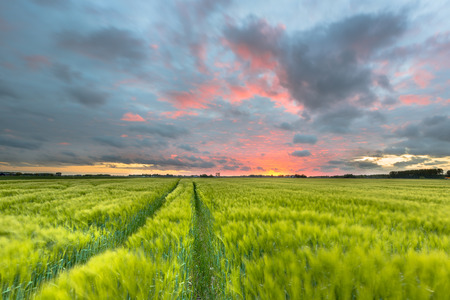 Endless tractor trail through Wheat field in summer just before a beautiful orange sunset, Groningen, Netherlands Stock Photo