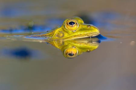 Pool frog (Pelophylax lessonae) looking in camera from the water