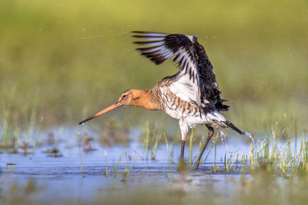 Black-tailed Godwit (Limosa limosa) wader bird shaking off water drops after bathing in shallow water of wetland in the Netherlands Stock Photo