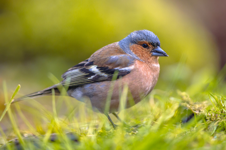 optimismo: Wild Chaffinch (Fringilla coelebs) on lawn of an ecological garden. The chaffinch breeds in much of Europe, across Asia to Siberia and in northwest Africa.