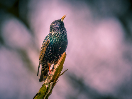 caller: Singing Common Starling (Sturnus vulgaris) displaying territorial behavior in front of nesting site vintage colors Stock Photo