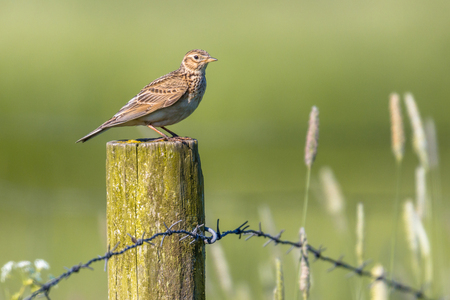 widespread: Eurasian skylark (Alauda arvensis) perched on a post in agricultural landscape. This small passerine bird species is a wide-spread species found across Europe and Asia