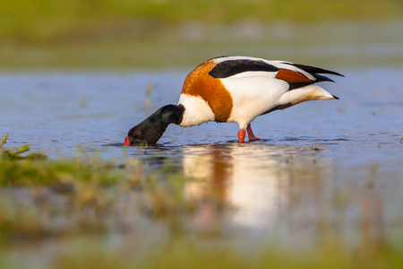 Male Common shelduck (Tadorna tadorna) is a waterfowl species and widespread in Europe and Asia.
