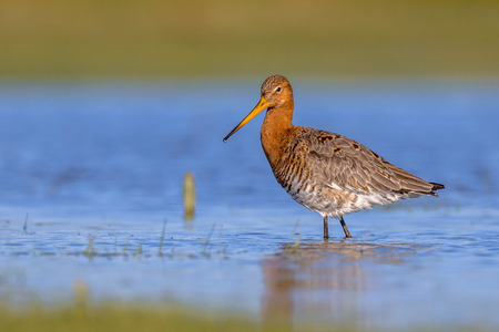 wader: Black-tailed Godwit (Limosa limosa) standing and looking in shallow water of a wetland. This is one of the wader bird target species in dutch nature protection projects