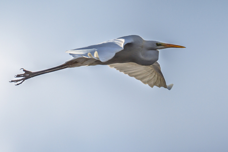 Great egret (Ardea alba), also known as the common egret, large egret or great white heron, is a widely distributed egret, with four subspecies found in Asia, Africa, the Americas, and Europe. Flying against blue sky