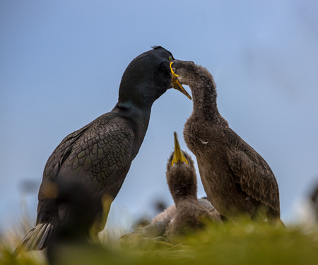 nesting: European shag (Phalacrocorax aristotelis) feeding young on nest. Chick is watching in background.