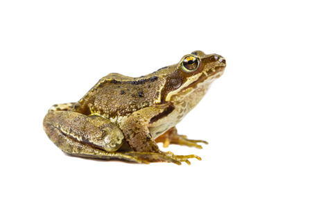 Common Brown frog (rana temporaria) looking up at camera on white background with clipping path